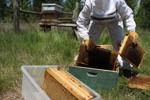 Willow removes some combs so we have a box to catch the bees. conveniently they are covered in honey