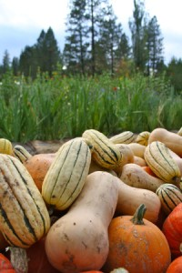 Squish squash squadoodle, the squash have arrived! Big round orange pie ones. Tan heavy buttery ones. Small striped sweet thin-skinned ones. Squat rich dark-fleshed heavenly ones…
