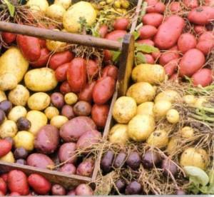 Some beautiful potatoes for you!